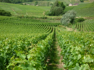 Champagne vinyards at Damery